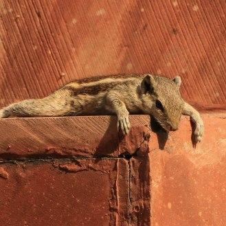 Relax - Streifenhörnchen am Agra Fort