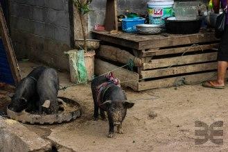 ein Schweineleben