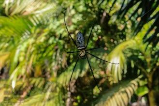 große Spinne in Kura Buri