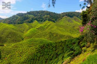 Tee in den Cameron Highlands