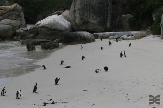 Pinguine bei Boulders