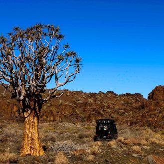 Köcherbaum im King's Throne Canyon