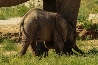 Babyelefant