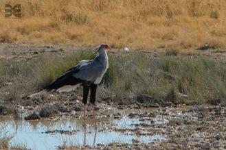 Wildlife in Etosha - Sekretärvogel